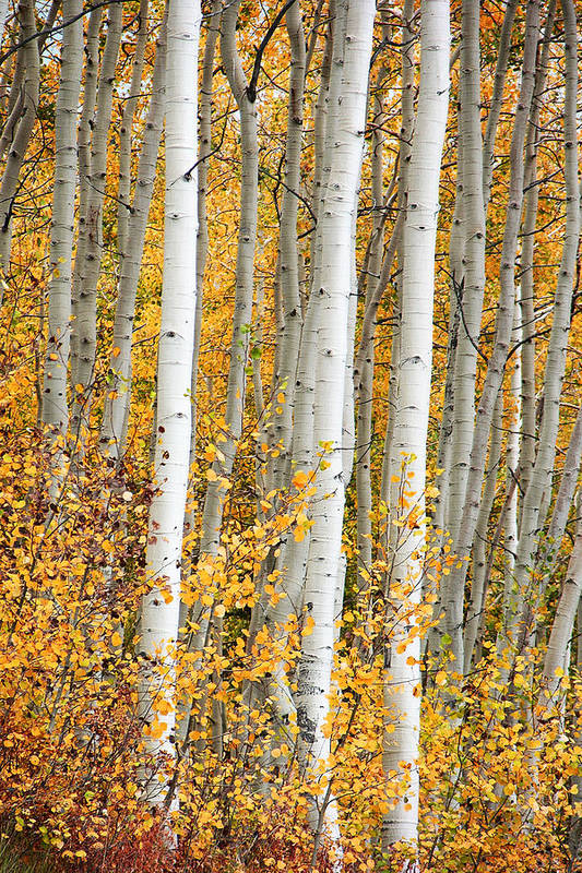 Aspen Art Print featuring the photograph Aspen With Fall Color by Dori Peers