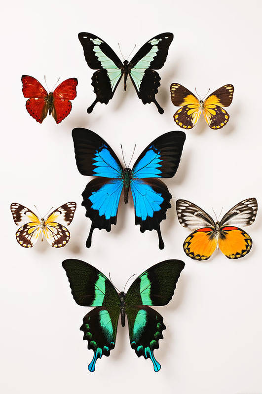 Butterfly Art Print featuring the photograph Assorted Butterflies by Garry Gay