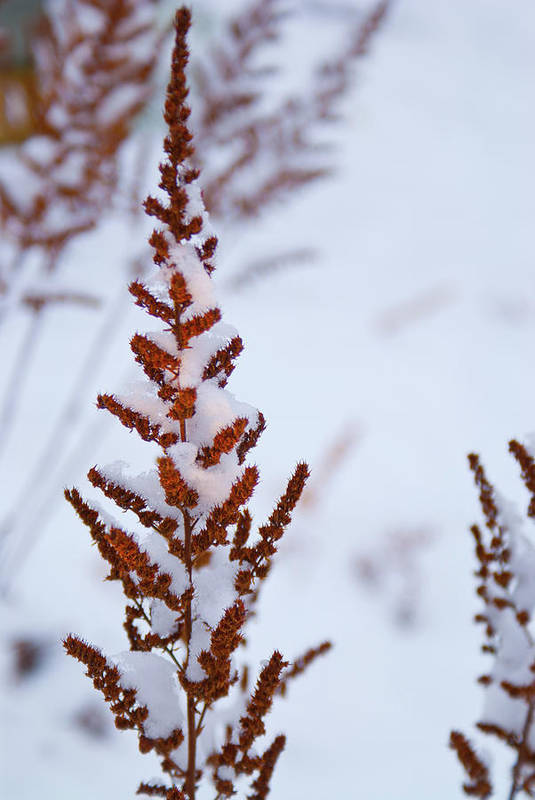 Astilbe Art Print featuring the photograph Astilbe Aglow In The Snow by Douglas Barnett