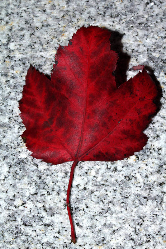 Nature Art Print featuring the photograph Autum Maple Leaf 1 by Robert Morin