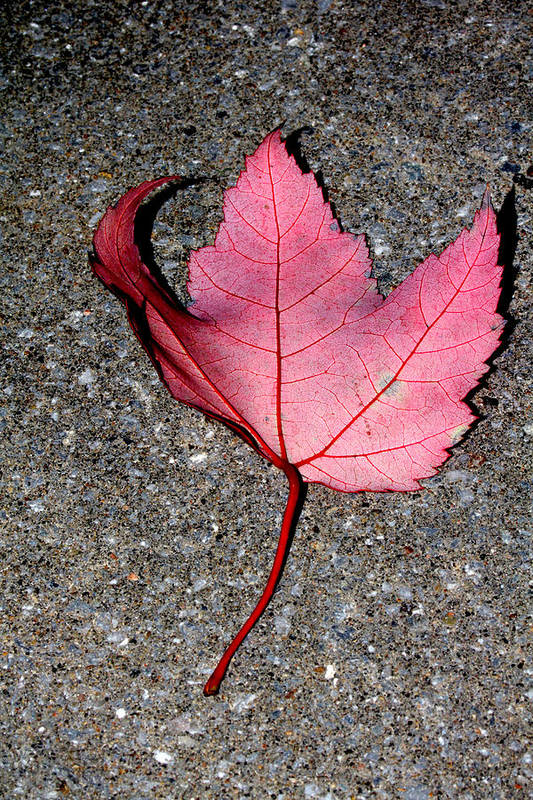 Nature Art Print featuring the photograph Autum Maple Leaf 2 by Robert Morin