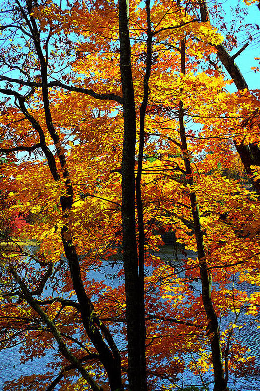 Fall Color Art Print featuring the photograph Autumn Gold by Alan Lenk