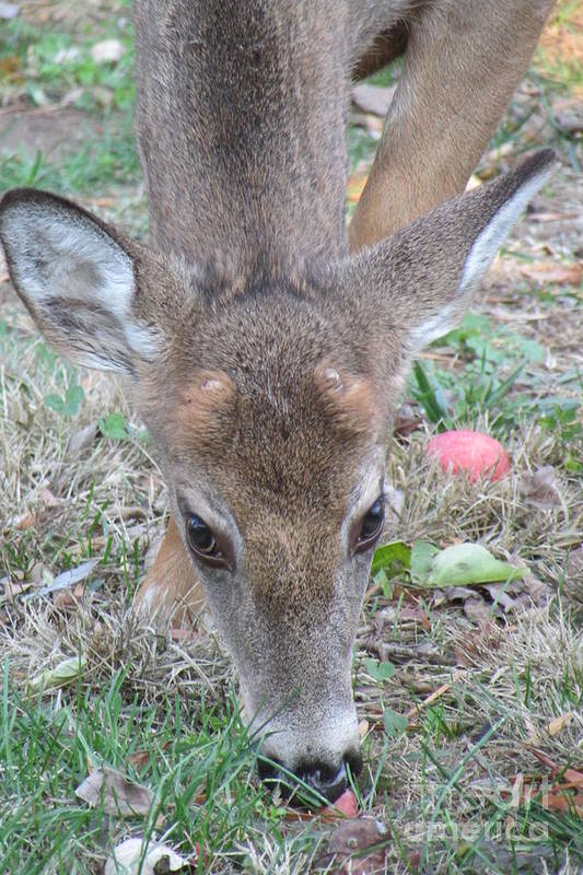 Deer Art Print featuring the photograph Baby Backyard Button Buck by Anne Ditmars