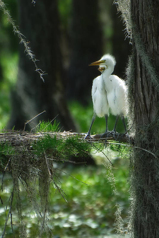 Egret Art Print featuring the photograph Baby Great Egrets With Nest by Rich Leighton