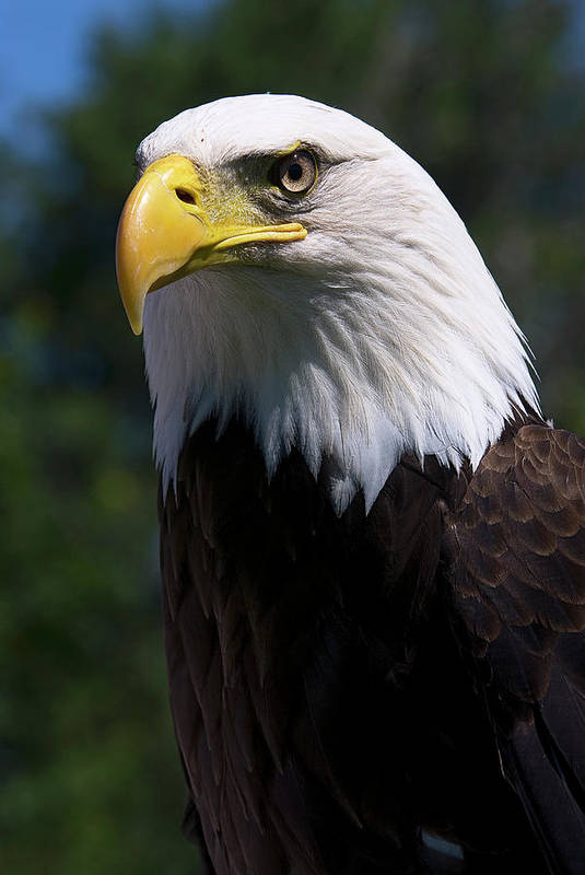Skyhunter Art Print featuring the photograph Bald Eagle by JT Lewis