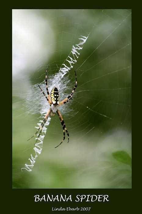 Spiders Art Print featuring the photograph Banana Spider by Linda Ebarb