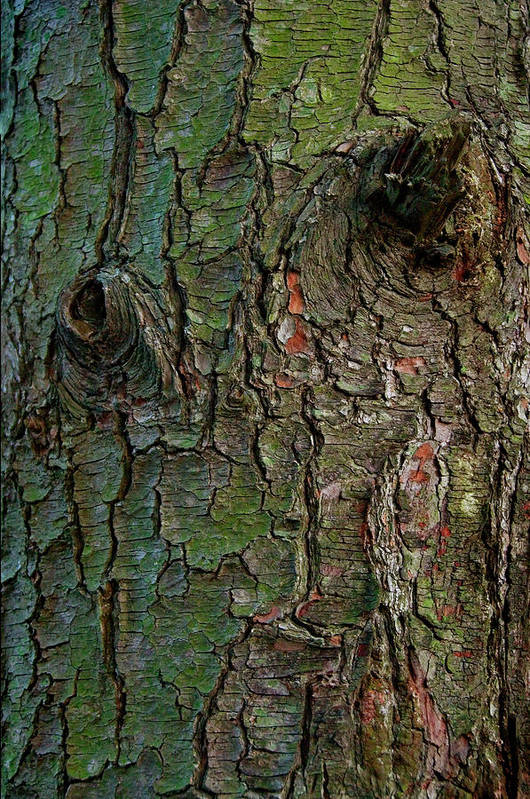 Tree Art Print featuring the photograph Bark by Murray Bloom