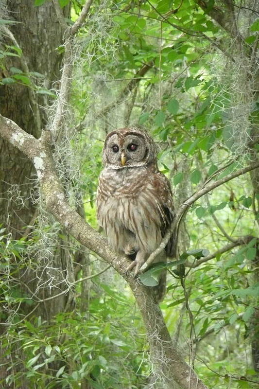 Nature Art Print featuring the photograph Barred Owl I by Kathy Schumann