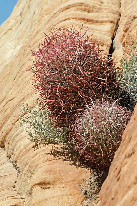 Cactus Art Print featuring the photograph Barrel Cactus by Chuck Wedemeier