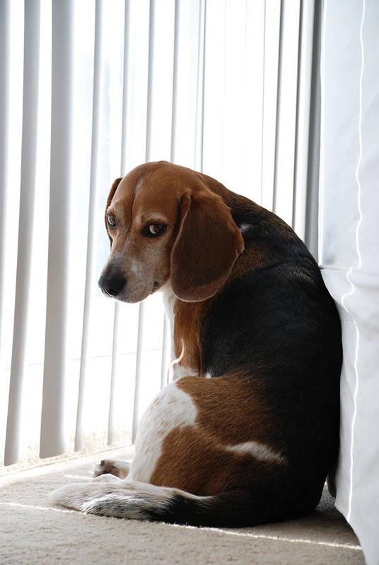 Beagle Art Print featuring the photograph Beagle Attitude by Jennifer Ancker