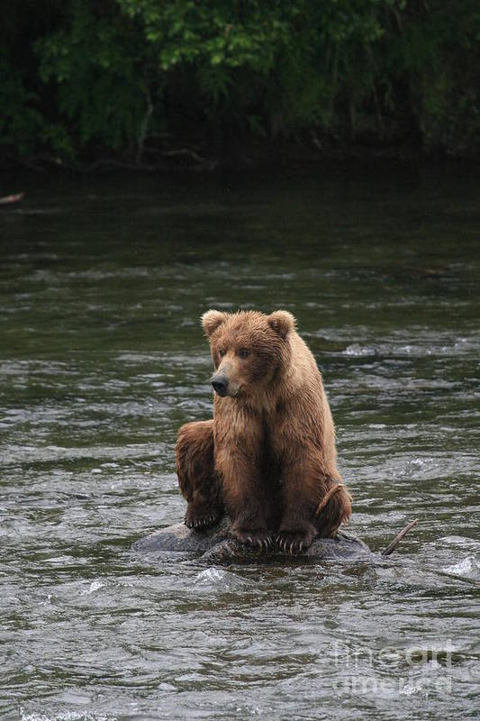 Photograph Of Bear Art Print featuring the photograph Bear Sitting On Water by Tracey Hunnewell