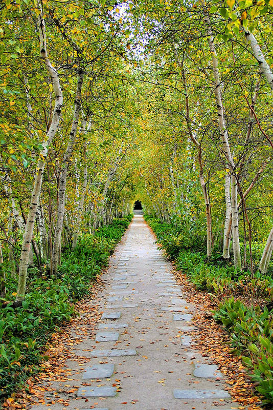 Pathway Art Print featuring the photograph Birch Pathway Perspective by Kristin Elmquist
