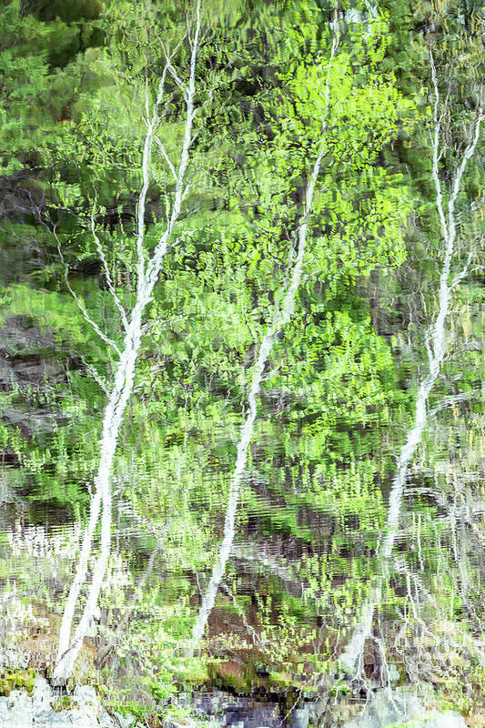 Reflections_of_canadian_fall Art Print featuring the photograph Birch Trees Abstract by Csaba Demzse