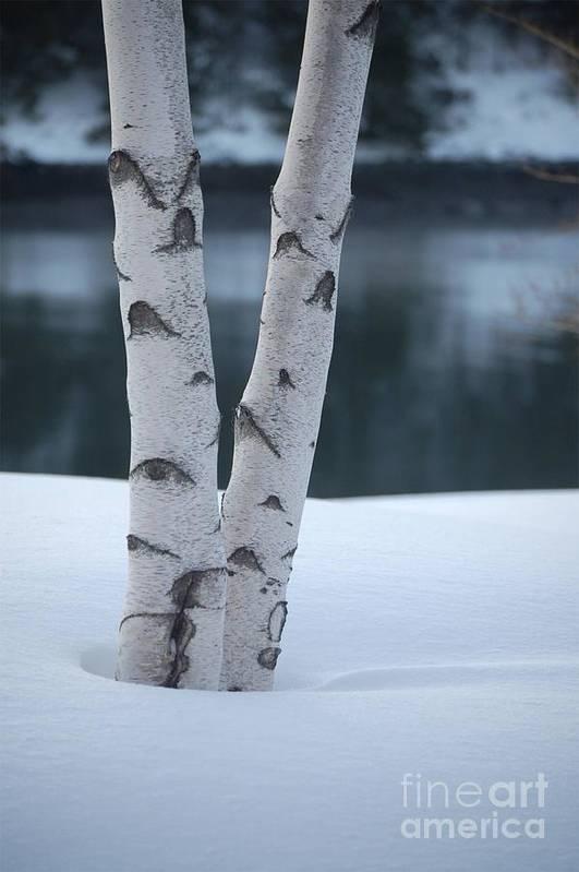Birch Art Print featuring the photograph Birch Twins In Snow by Faith Harron Boudreau