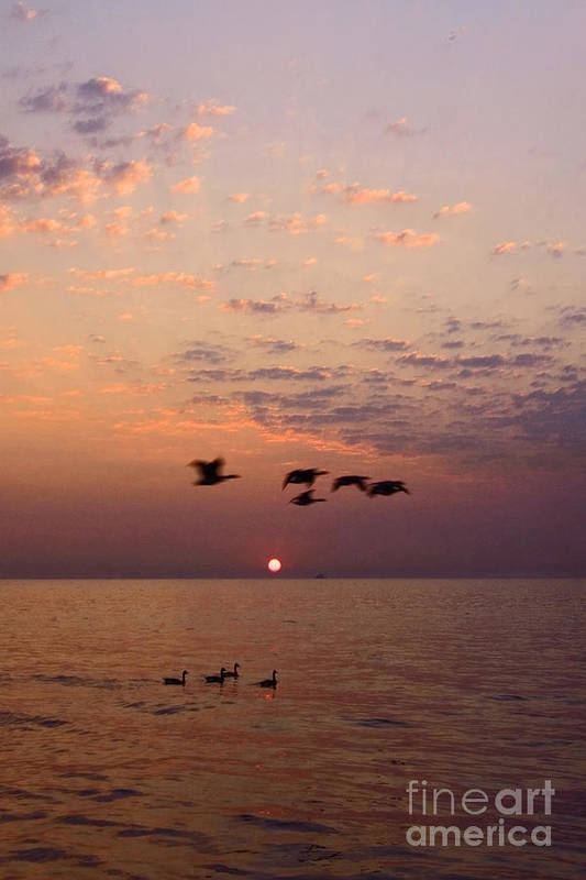 Ducks Art Print featuring the photograph Birds Flying And Floating At Sunrise by Sven Brogren