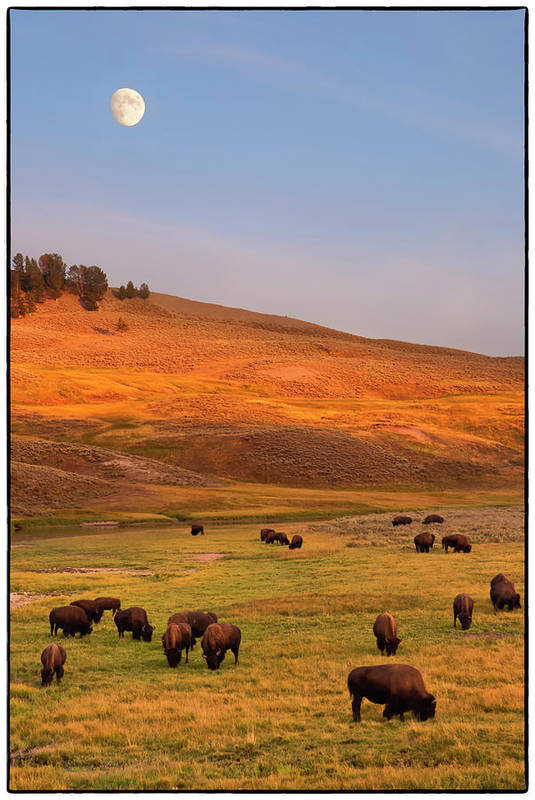 Vertical Art Print featuring the photograph Bison Grazing On Hill At Hayden Valley by Sankar Raman
