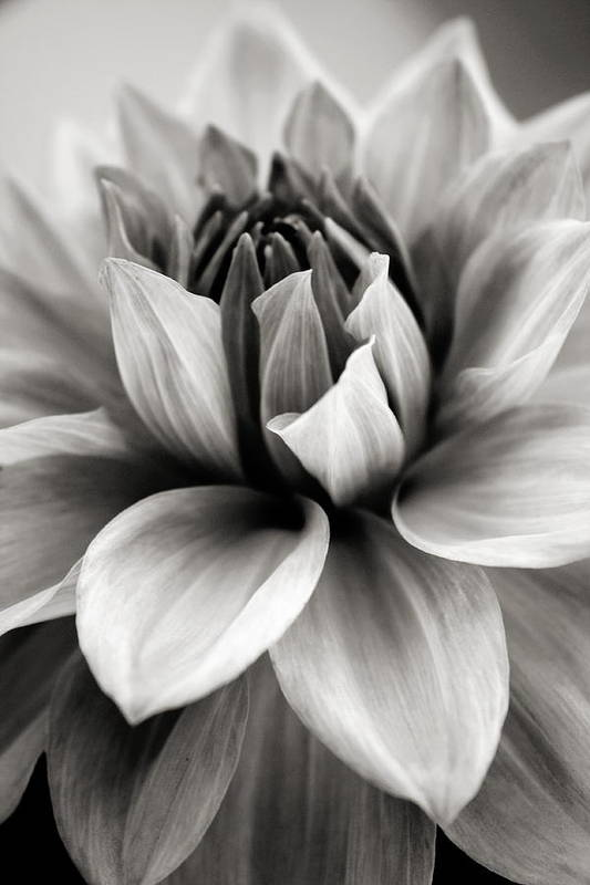Bw Art Print featuring the photograph Black And White Dahlia by Danielle Miller