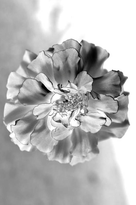 Black And White Marigold Art Print By Christine Ricker Brandt