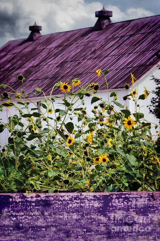 Flowers And Barn Art Print featuring the photograph Black Eyed Susans by Polly Peacock