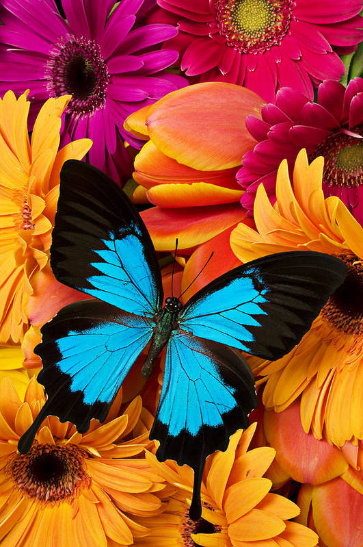 Butterfly Tulips Daisy�s Art Print featuring the photograph Blue Butterfly On Brightly Colored Flowers by Garry Gay