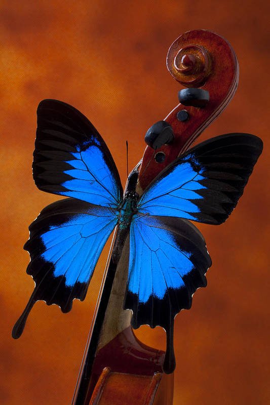 Blue Butterfly Art Print featuring the photograph Blue Butterfly On Violin by Garry Gay