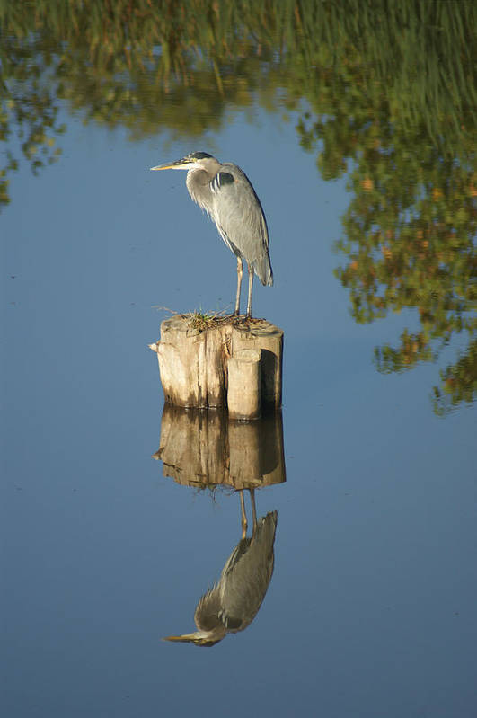 Nature Art Print featuring the photograph Blue Heron by Heidi Poulin