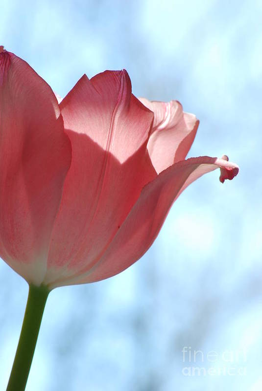 Tulip Art Print featuring the photograph Blush by Michelle Hastings