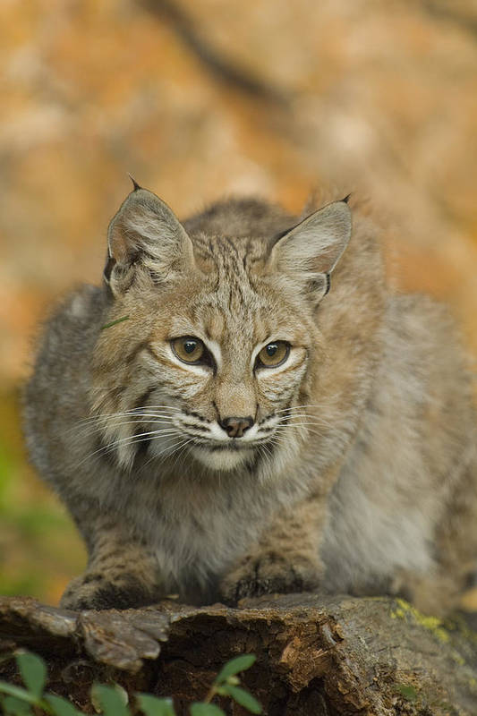 Alertness Art Print featuring the photograph Bobcat Felis Rufus by Grambo Photography and Design Inc.