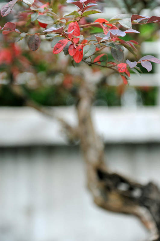 Red Art Print featuring the photograph Bonsai by Jessica Rose