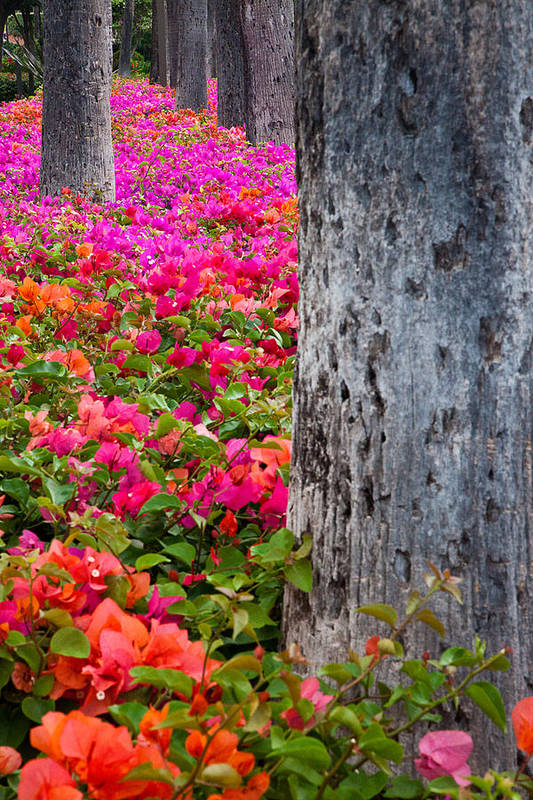 Blossoms Art Print featuring the photograph Bougainvillea Forever by Eggers Photography