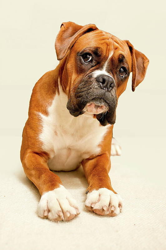 Vertical Print featuring the photograph Boxer Dog On Ivory Backdrop by Danny Beattie Photography