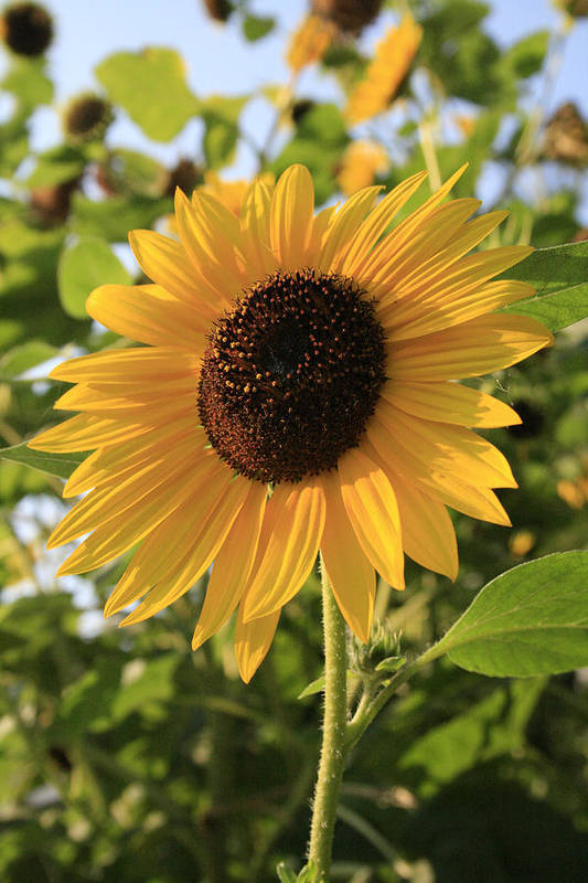 Sunflowers Art Print featuring the photograph Brilliant By Association by Alan Rutherford