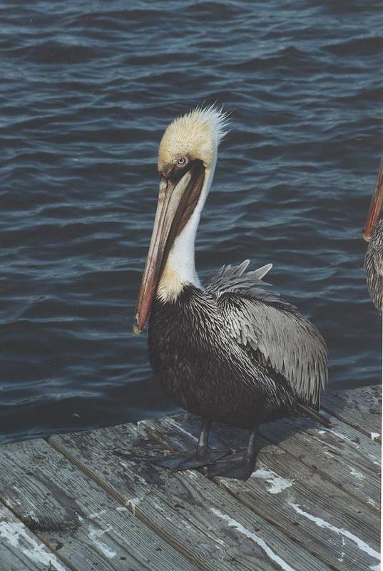 Bird Art Print featuring the photograph Brown Pelican On Pier by Wendell Baggett