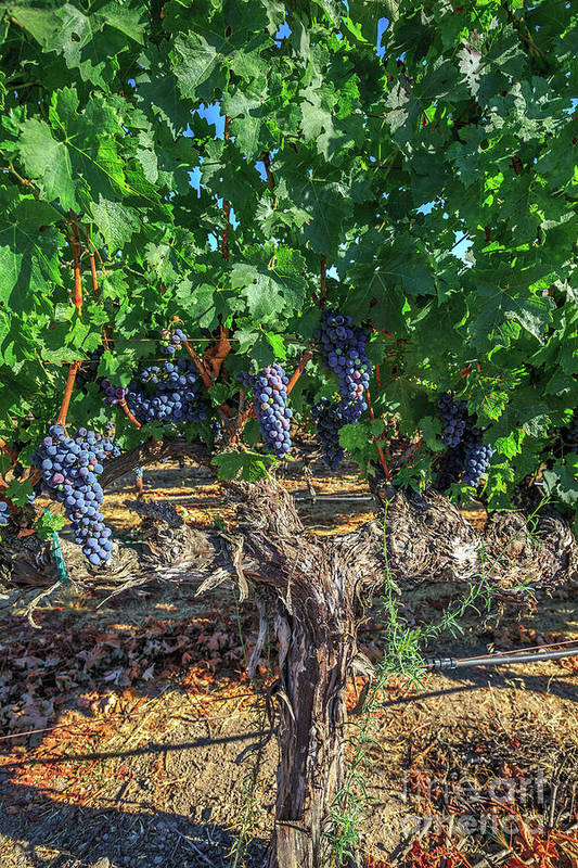 Red Grapes Art Print featuring the photograph Bunch Of Grapes by Benny Marty