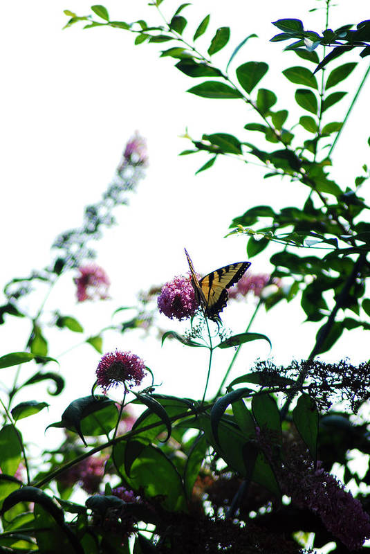 Flowers Art Print featuring the photograph Butterfly Garden by Coralyn Klubnick Simone