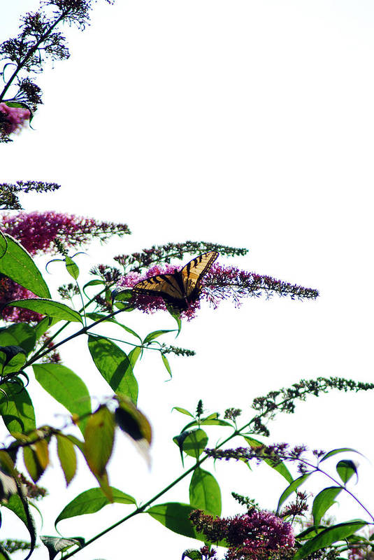 Butterfly Art Print featuring the photograph Butterfly Garden II by Coralyn Klubnick Simone
