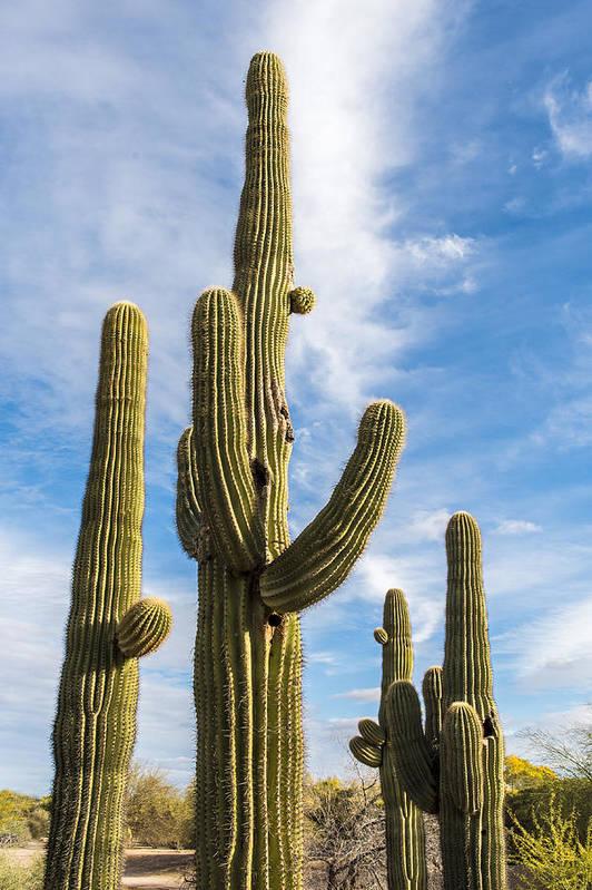 Desert Cactus Art Print featuring the photograph Cactus Arms by Jon Berghoff