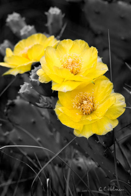 Cactus Art Print featuring the photograph Cactus Blossom by Christopher Holmes