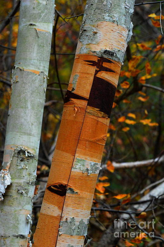 Bark Art Print featuring the photograph Calling Card by Jesse Ciazza
