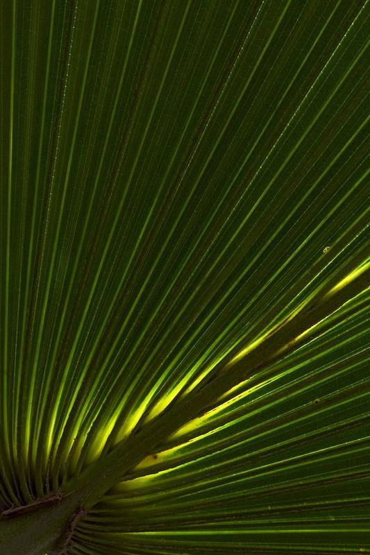 Palm Art Print featuring the photograph Canopy by Jessica Dzupina