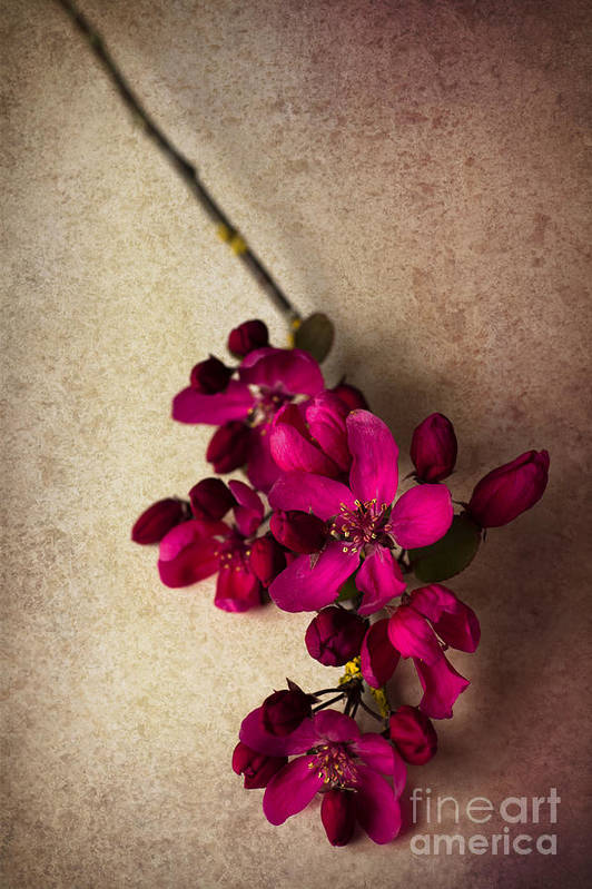 Cherry Blossom Art Print featuring the photograph Cherry Pie by Jan Bickerton