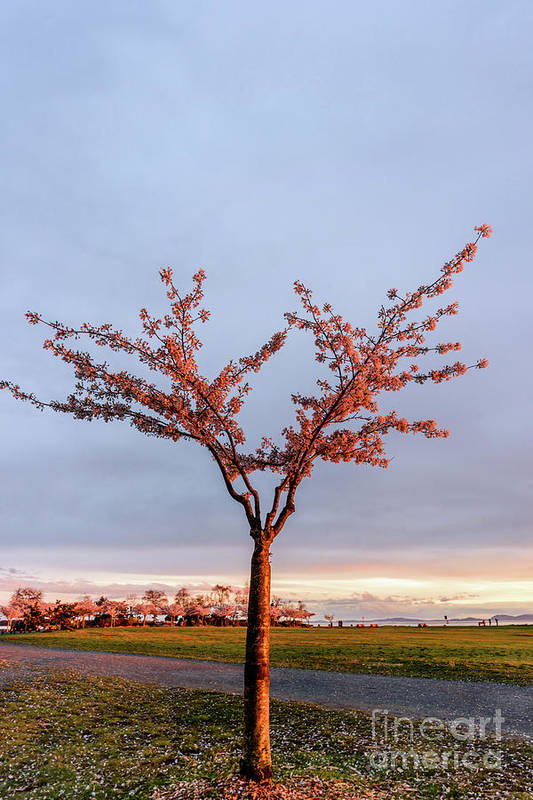 Tree Art Print featuring the photograph Cherry Tree Standing Alone In A Park, Lit By The Light by Viktor Birkus