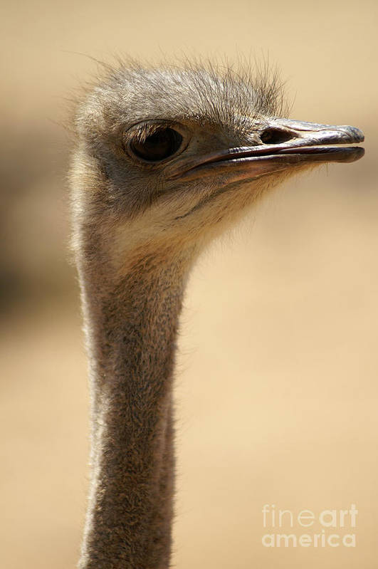 Psi Art Print featuring the photograph Close Up Of An Ostrich by Moran Malachi
