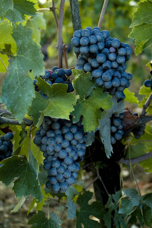 Chianti Art Print featuring the photograph Close View Of Chianti Grapes Growing by Todd Gipstein