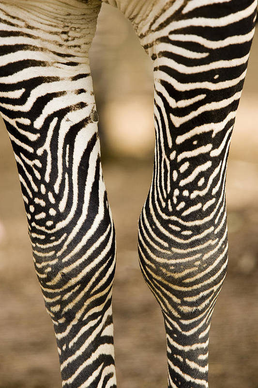Captive Animals Art Print featuring the photograph Closeup Of A Grevys Zebras Legs Equus by Tim Laman
