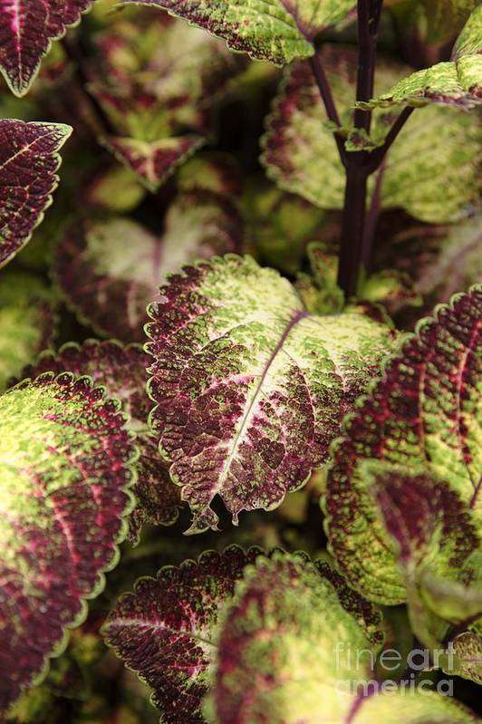 New England Art Print featuring the photograph Coleus Plant by Erin Paul Donovan