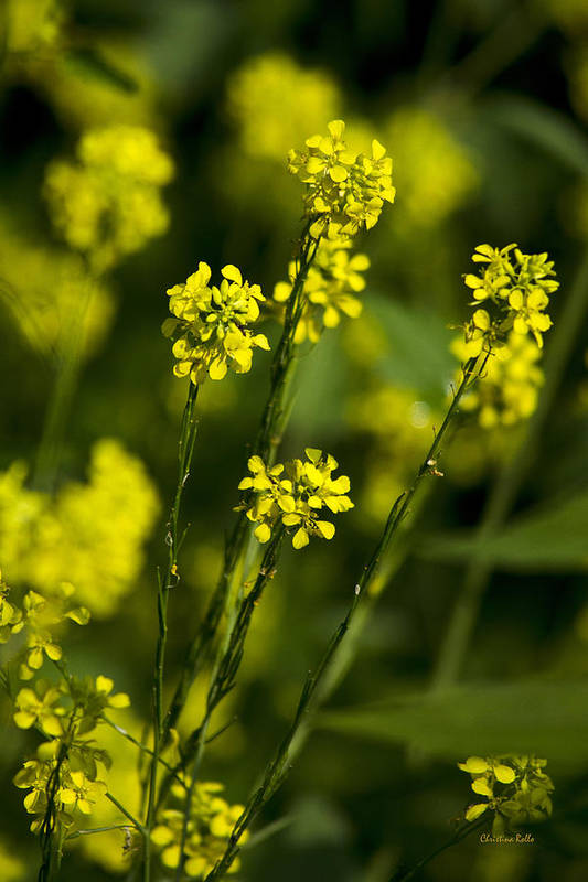 Yellow Flowers Art Print featuring the photograph Common Wintercress Flowers by Christina Rollo