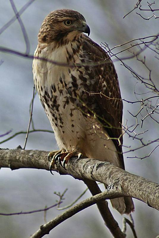 Cooper's Art Print featuring the photograph Cooper's Hawk 2 by Joe Faherty