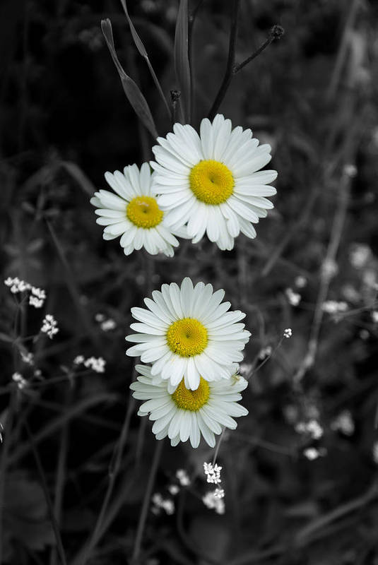 Daisy Art Print featuring the photograph Daisies by Lisa Hebert