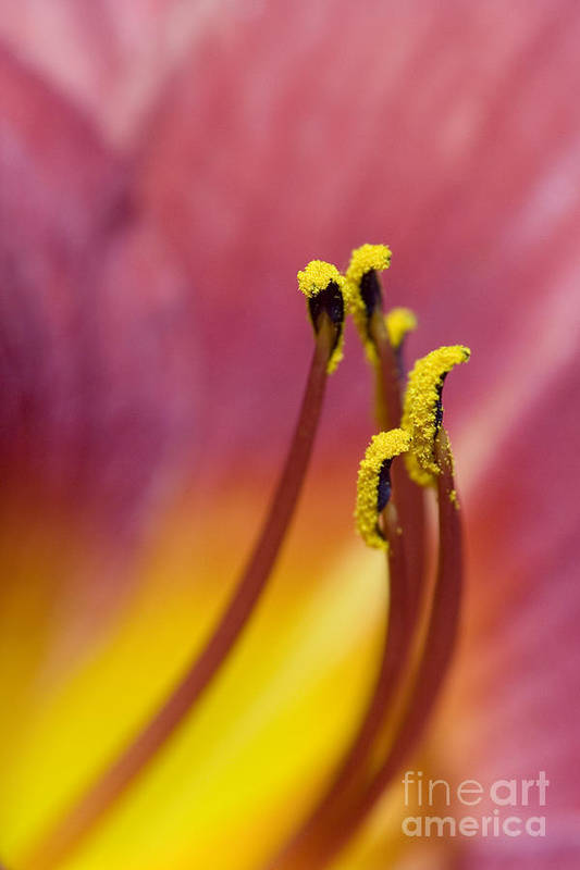 Daylily Art Print featuring the photograph Daylily by Jeannie Burleson